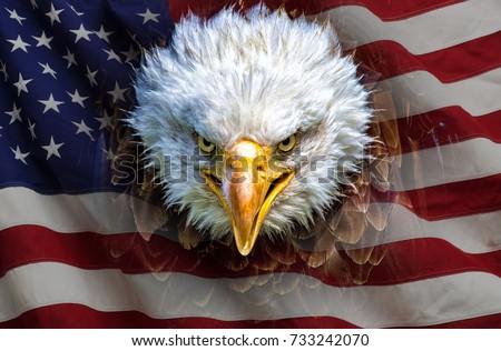 Stock Photo An angry north american bald eagle on american flag.