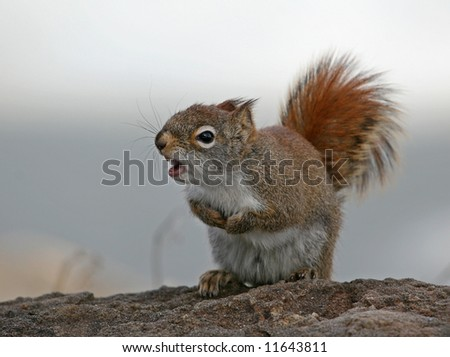 An angry pine squirrel on a big rock - stock photo