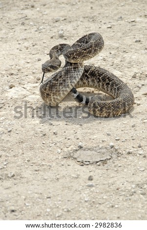 An angry western diamondback rattlesnake crotalus atrox for Western diamondback rattlesnake coloring pages
