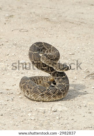 An angry Western diamondback rattlesnake (Crotalus atrox) on a dirt road coilde and ready to strike.