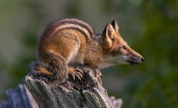 An Animal Hybrid of a Chipmunk and a Red Fox