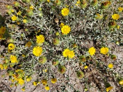 An annual sow thistle bush on the Table rock trail just outside of Boise, Idaho at Table Rock on a bright, sunny autumn morning