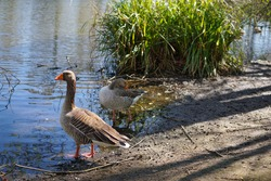 An Anser Goose with an orange beak standing beside the duck pond on Wandsworth Common in South West London, England.  Image has copy space.