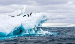 An Antarctica nature scene, with a group of five Adelie penguins on a floating iceberg in the icy cold waters of the Weddell Sea, near the Tabarin Peninsula, Antarctica.