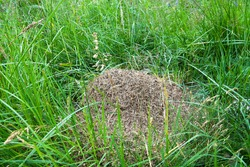 An anthill of Meadow ants (Formica pratensis) in meadow