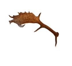 An antler of a fallow deer isolated on a white background
