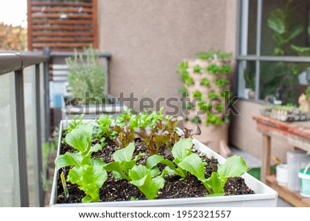 An apartment patio garden, with small lettuces in a planter and a tower garden with a compost column down the middle. Urban gardening in small places.