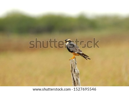 An aplomado falcon perched on a single wooden post with a natural background.