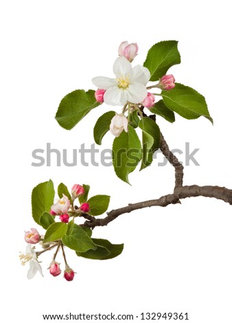 An apple blossom explodes open. The delicate white petals surround yellow pistils. Other pink blossoms wait their turn to bloom. Green leaves of the tree frame the blooms. On a white background.