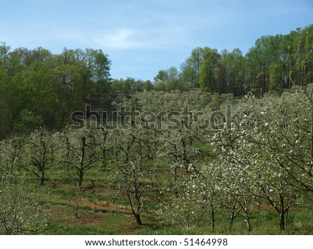 An apple orchard in western North Carolina