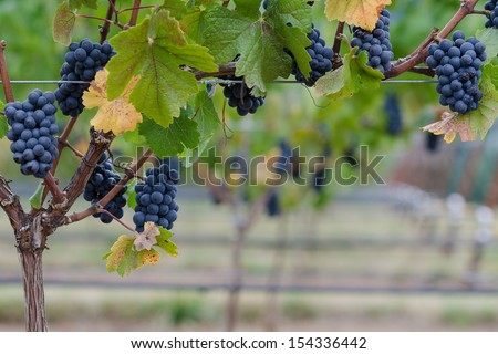 An arbor of Pinot Noir grapes on the vine provide a border for photo or text beneath.