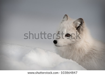 An Arctic Fox in its\' winter coat. Looking left out of the frame.