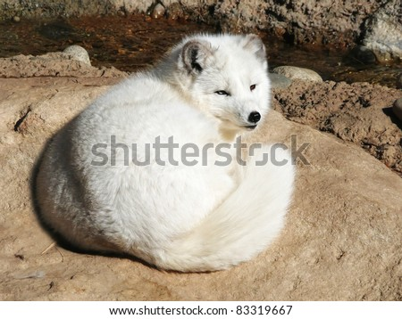 An arctic fox resting in the sun.  He has one blue eye and one brown eye.