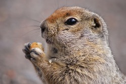 An arctic ground squirrel eating a piece of bread