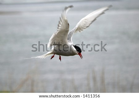 An Arctic Tern (Sterna paradisea) about to land. Motion blur on the wings.