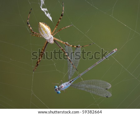 An argiope spider has caught a damselfly in it's web.