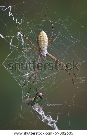 An argiope spider has caught a fly in it's web.