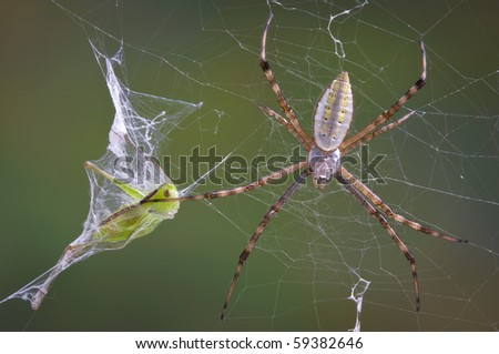 An argiope spider has caught a grasshopper in it's web and wrapped it in silk.