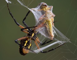 An argiope spider is wrapping a grasshopper that was trapped in her web.