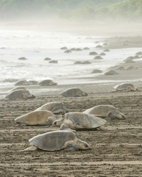 An arribada of Olive Ridley turtles.