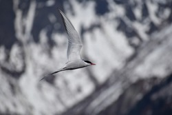 An artic tern camouflaged against an artic background.