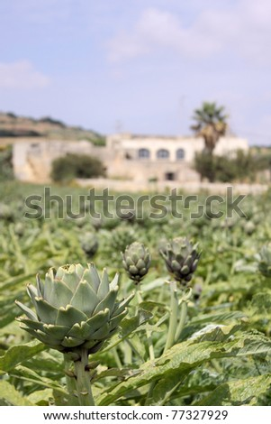 An artichoke farm on a bright Mediterranean Spring day - stock photo