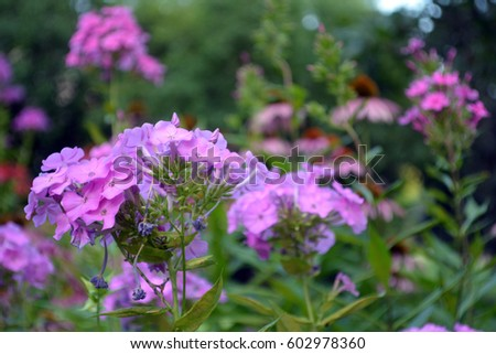 An artistic shot with short depth of field showing a cluster of pink phlox in focus in the foreground and pink coneflowers out of focus in the background #602978360