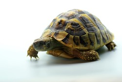 An Asian forest tortoise (Manouria emys) is moving slowly.