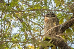 An Asian Owl looks down from its roost in a tree, Satpura National Park, India