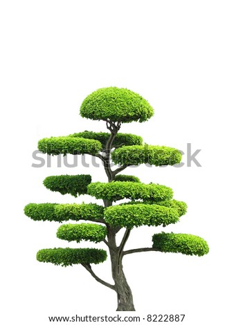 An asian style ornamental green tree in isolation.