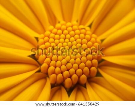 An Asian sunflower #641350429