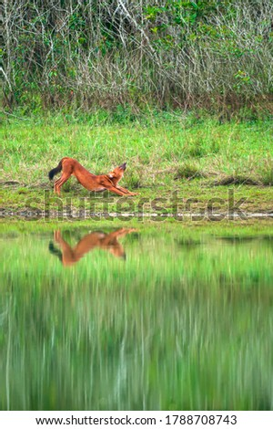 An Asian Wild Dog relaxing on the green grassland near a lake on rain morning. Khao Yai National Park. UNESCO World Heritage Site. Thailand. stock photo