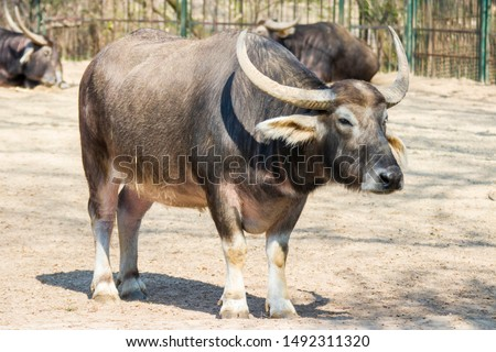 an Asiatic Water buffalo close up.  A large bovid originating in the Indian subcontinent, Southeast Asia, and China.  #1492311320