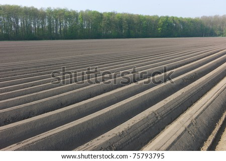An asparagus field in the Netherlands