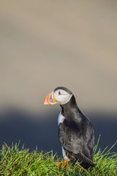 An Atlantic puffin (Fratercula arctica) close up portrait. the common puffin is a species of seabird in the auk family. Iceland, Norway,  Newfoundland and Labrador in Canada have large colonies