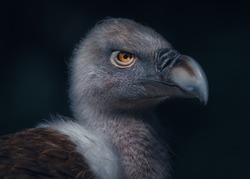 An atmospheric shot of a vulture with a piercing gaze. English name is the
