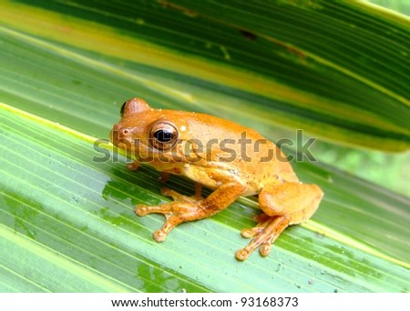 An attractive tree frog from the rainforest of Mexico, Hyla loquax