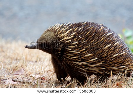 An Austrailan Echidna standing from side view.