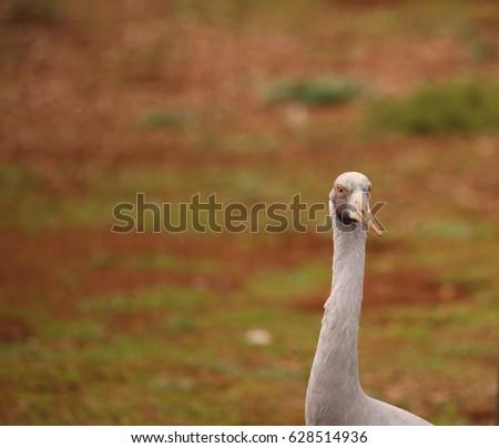 An Australian Brolga, a type of crane. #628514936
