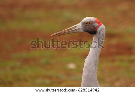 An Australian Brolga, a type of crane. #628514942