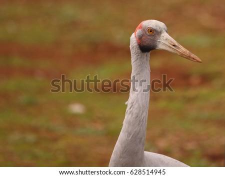 An Australian Brolga, a type of crane. #628514945