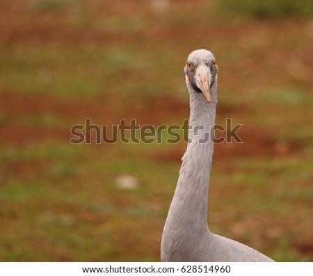 An Australian Brolga, a type of crane. #628514960