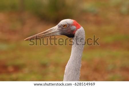 An Australian Brolga, a type of crane. #628514969