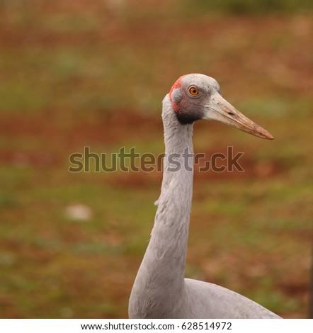 An Australian Brolga, a type of crane. #628514972
