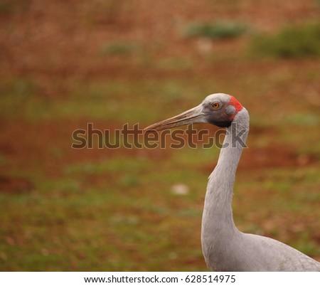 An Australian Brolga, a type of crane. #628514975