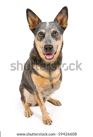 An Australian Cattle Dogs that is missing one front leg. Isolated on white