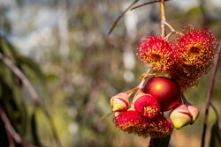 An Australian Christmas, gum nut blossoms and gum nuts with a red Christmas bauble, horizontal