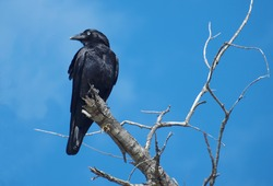 An Australian Crow, sometimes mistakenly called Raven, perched in a dead tree with a vivid blue sky backdrop. Fraser Island, Queensland, Australia.