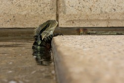 An Australian eastern water dragon lizard (Intellagama lesueurii lesuerii) has retreated to the water of a city fountain when people approach.