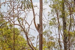An Australian koala bear sitting in a tree in it's natural bushland habitat